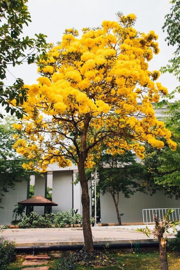 Fleur jaune d'or d'arbre de fleur de fleur image libre de droits
