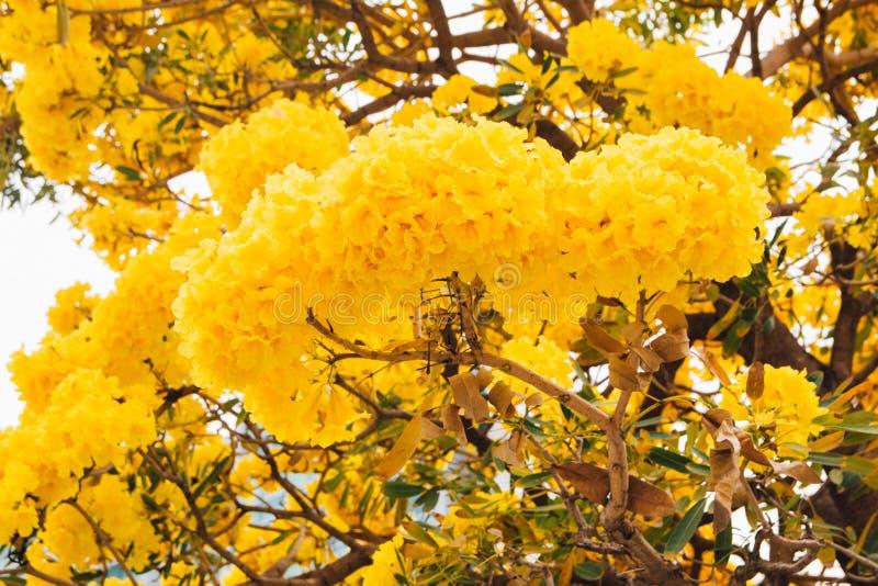 Fleur jaune d'or d'arbre de fleur de fleur photos stock