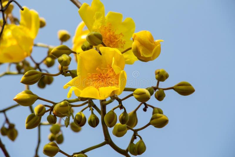 fleur jaune d 39 arbre de coton en soie image stock image du nature beau 37408907. Black Bedroom Furniture Sets. Home Design Ideas