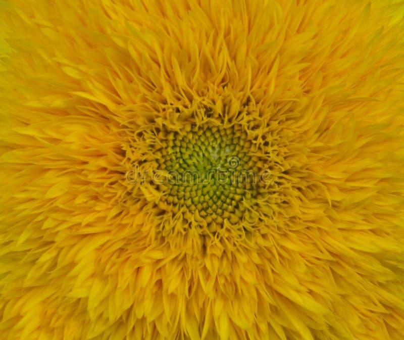Fleur jaune d'or de bourgeonnement de cône image stock