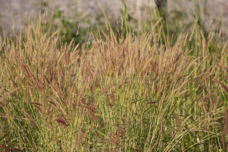 Fleur jaune d'herbe photographie stock