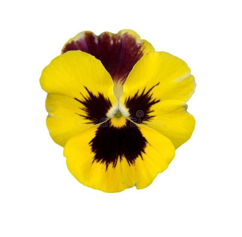 Fleur jaune d'isolement de violette de pensée de source images libres de droits