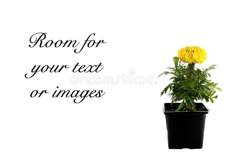 Fleur jaune d'isolement sur le blanc photos libres de droits