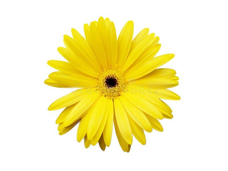 Fleur jaune d'isolement sur le fond blanc image libre de droits