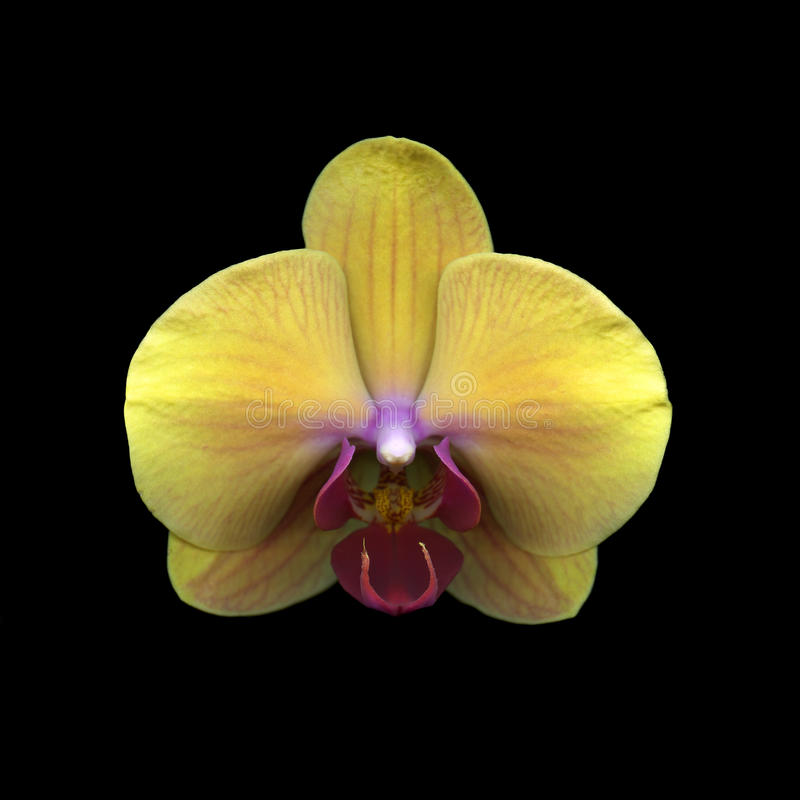 Fleur jaune d'orchidée image libre de droits