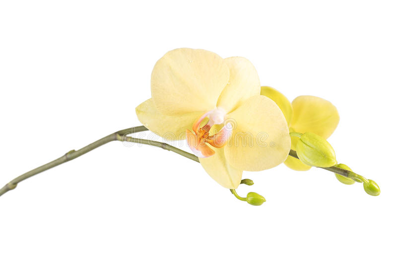 Fleur jaune d'orchidée d'isolement photos stock