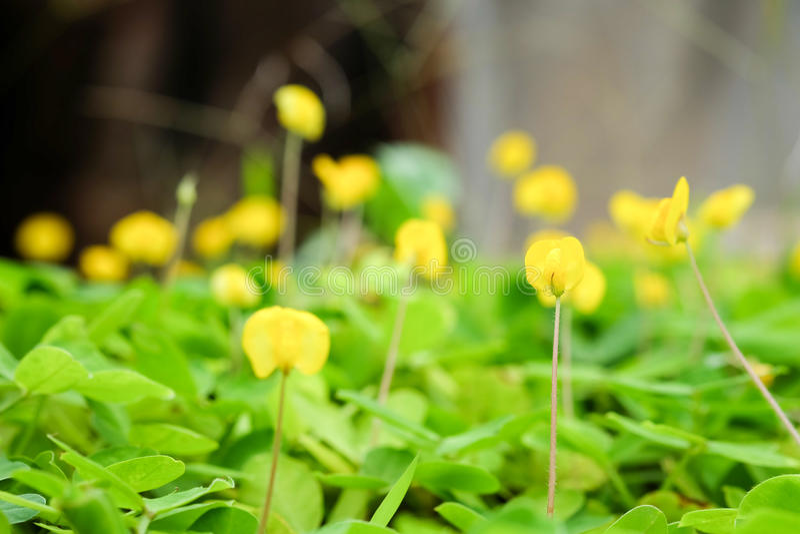 Fleur jaune d'usine de Pinto Peanut petite images libres de droits