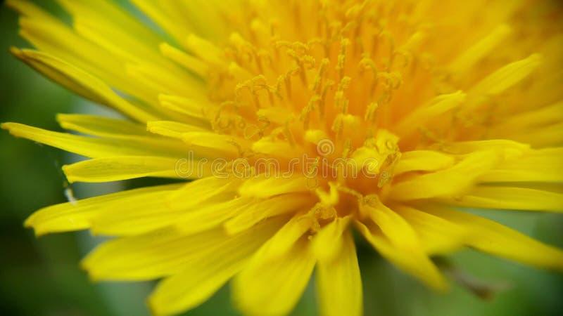 Fleur jaune dans l'environnement naturel, fin  Pissenlit images libres de droits
