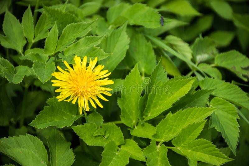 Fleur jaune dans l'herbe verte, macro photographie stock