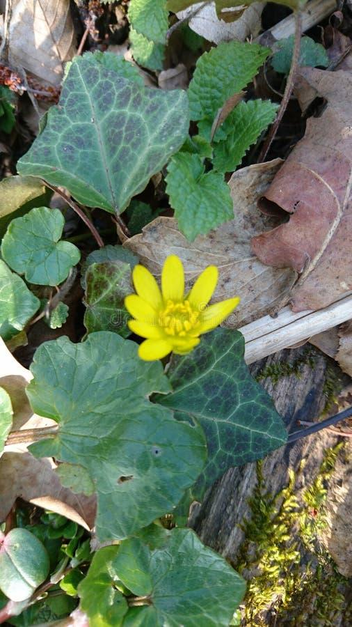 Fleur jaune dans la forêt photographie stock libre de droits