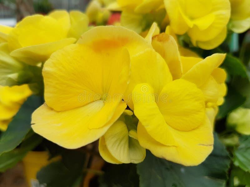 Fleur jaune de bégonia photos libres de droits