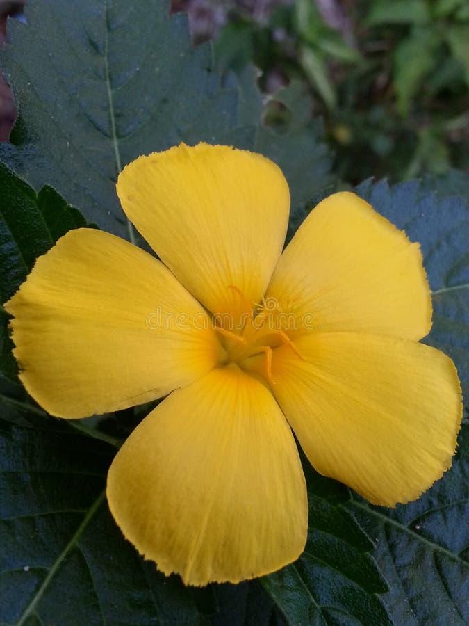Fleur jaune de bord de la route photographie stock libre de droits