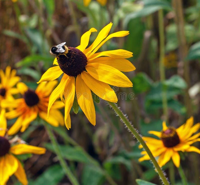 Fleur jaune de cône avec une abeille sur le dessus images stock