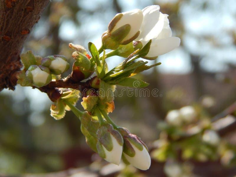 Fleur jaune de cerise de cornaline photographie stock libre de droits