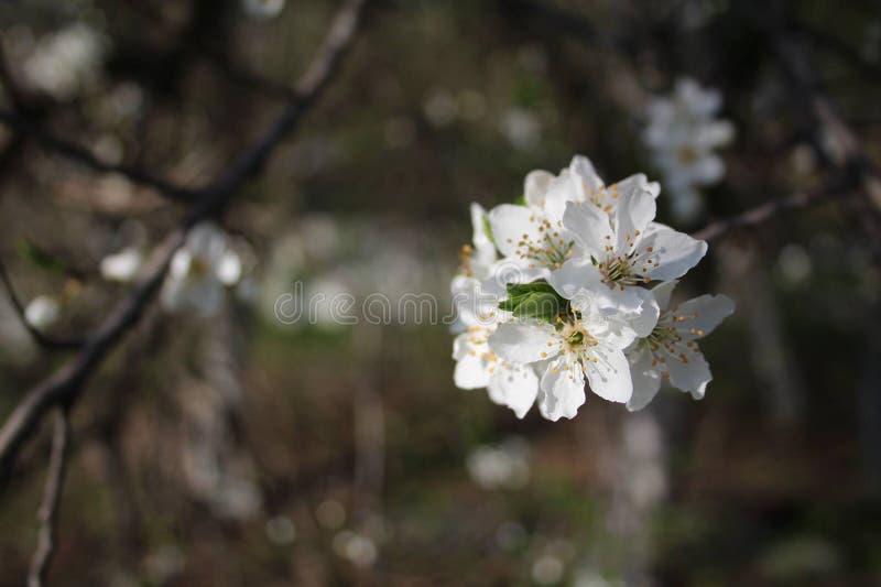 Fleur jaune de cerise de cornaline photo stock
