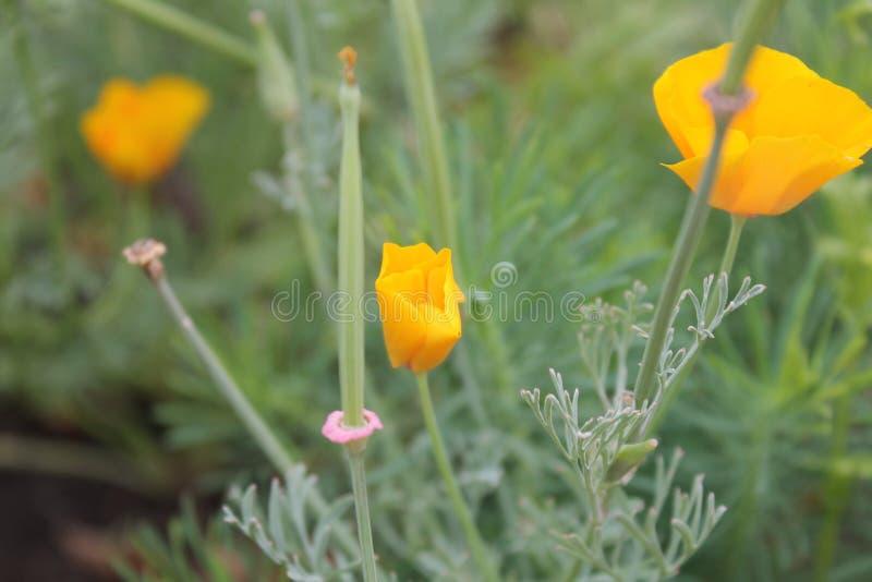 Fleur jaune de champ photographie stock