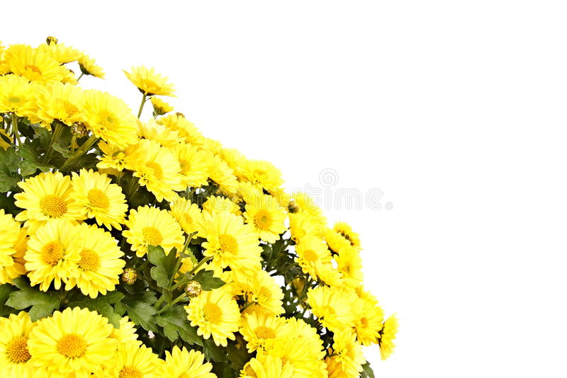 Download Fleur Jaune De Chrysanthème Photo stock - Image du chrysanthemum, cheminée: 45359282
