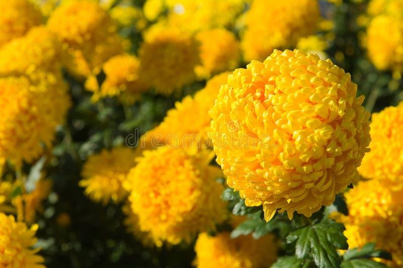 Fleur jaune de chrysanthème photos libres de droits