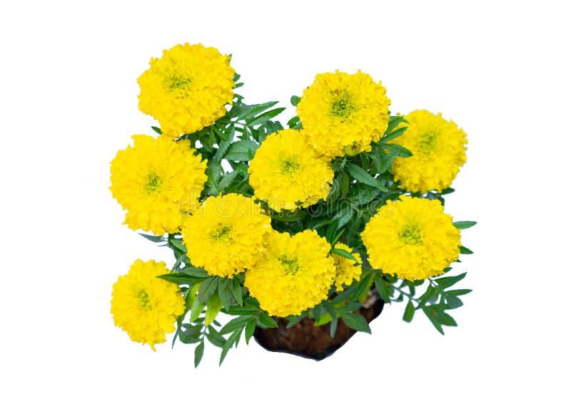 Fleur jaune de chrysanthème de vue supérieure dans le sac sur le chemin de coupure blanc de fond photographie stock