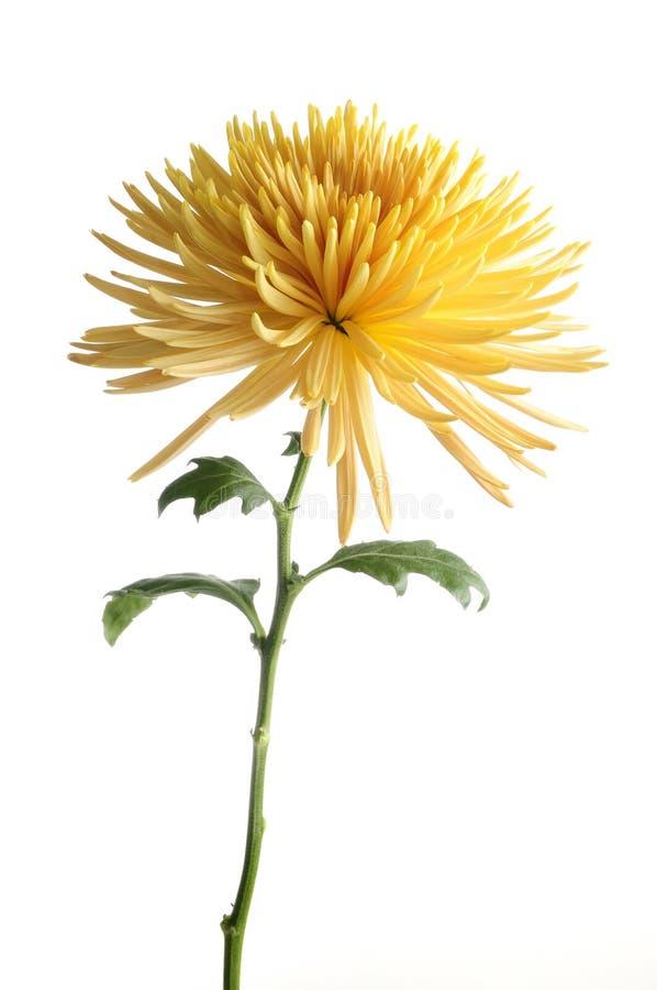 Fleur jaune de chrysanthemum d'isolement image stock