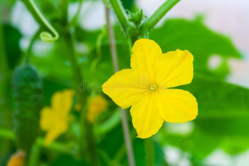 Fleur jaune de concombre sur un fond de jardin vert dans la profondeur de bokeh du champ photos libres de droits