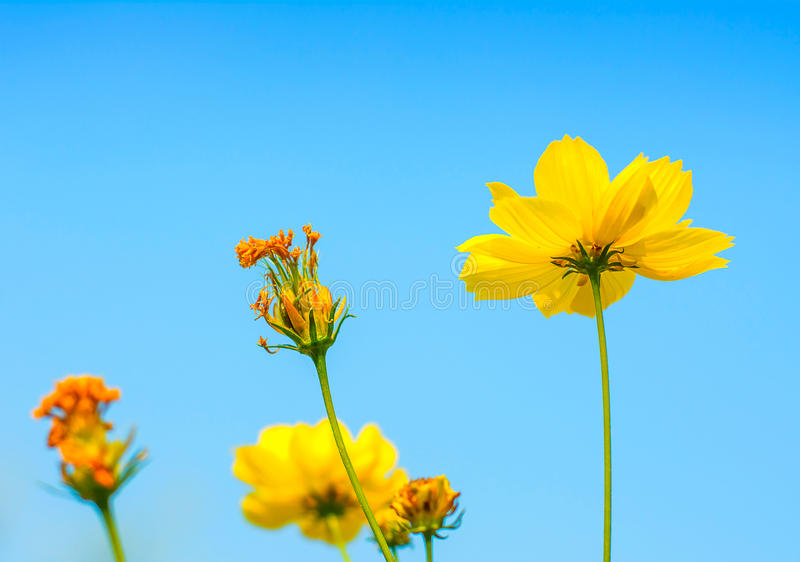 Fleur jaune de cosmos. photo libre de droits