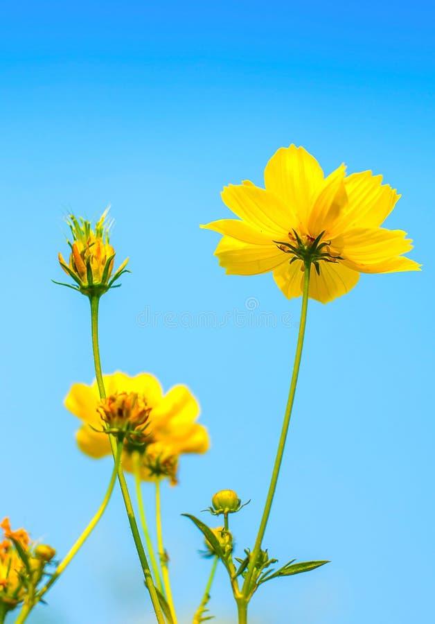 Fleur jaune de cosmos. photos libres de droits