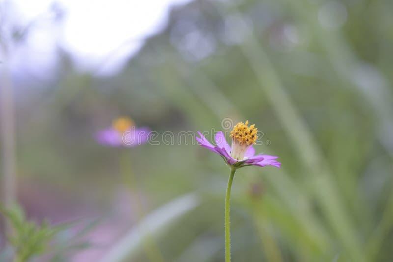 Fleur jaune de fleur de cosmos photos libres de droits