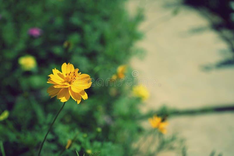 Fleur jaune de cosmos dans le jardin d'arrière-cour photographie stock