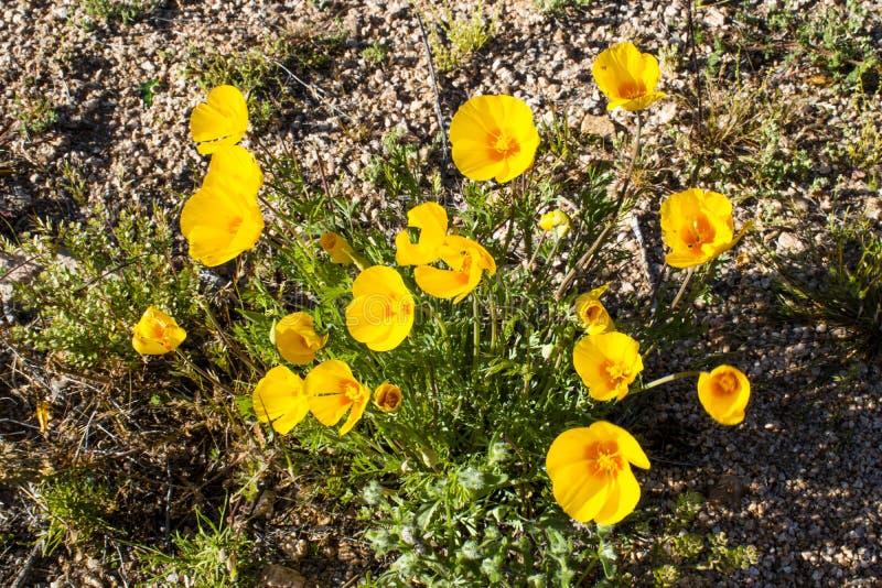Fleur jaune de désert de l'Arizona photos stock