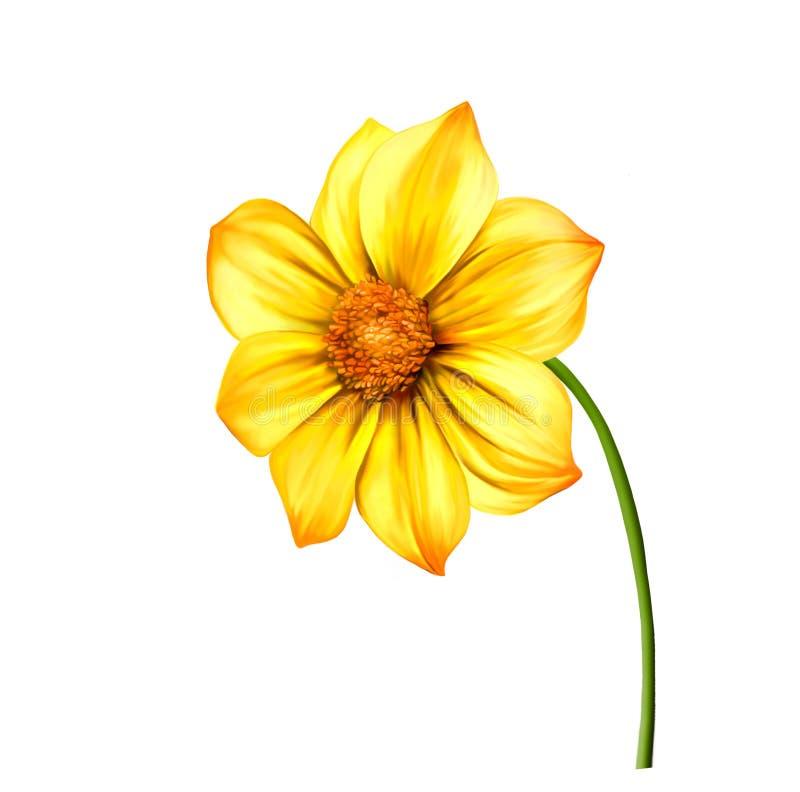 Fleur jaune de dahlia, fleur de ressort d'isolement en fonction illustration stock