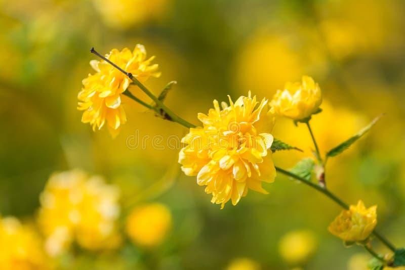 fleur jaune de fleur d 39 arbre photo stock image du jardinage floral 39518276. Black Bedroom Furniture Sets. Home Design Ideas
