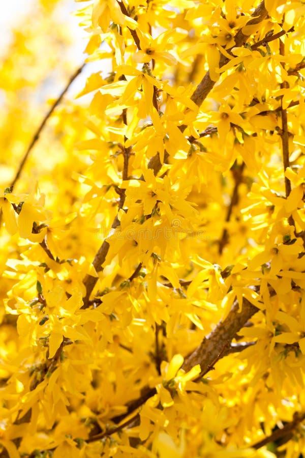 fleur jaune de forsythia au printemps ext rieure image stock image du p tale vert 31081465. Black Bedroom Furniture Sets. Home Design Ideas