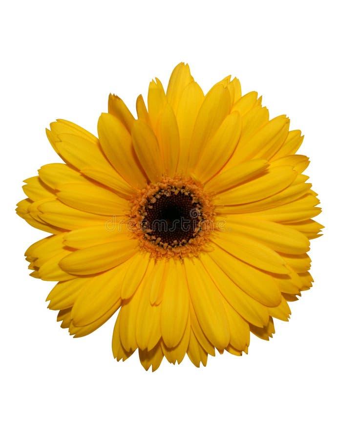 Fleur jaune de gerbera d'isolement photos stock