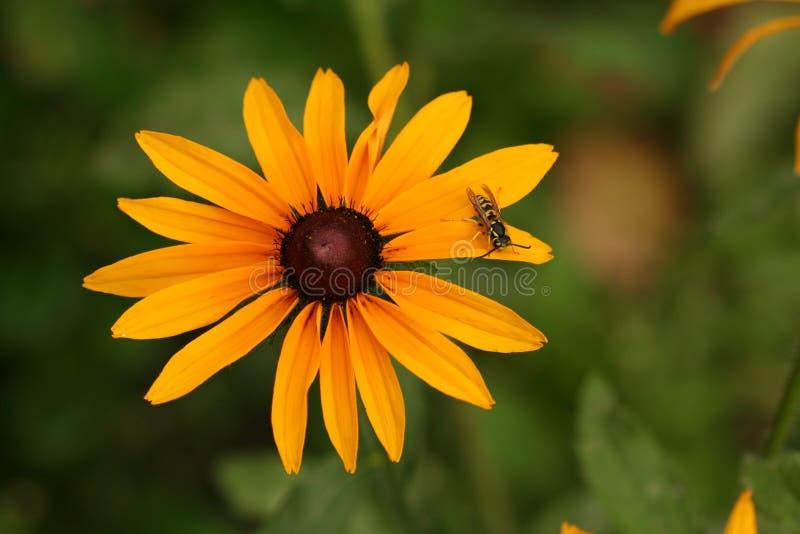 Fleur jaune de hirta de Rudbeckia avec la guêpe image libre de droits