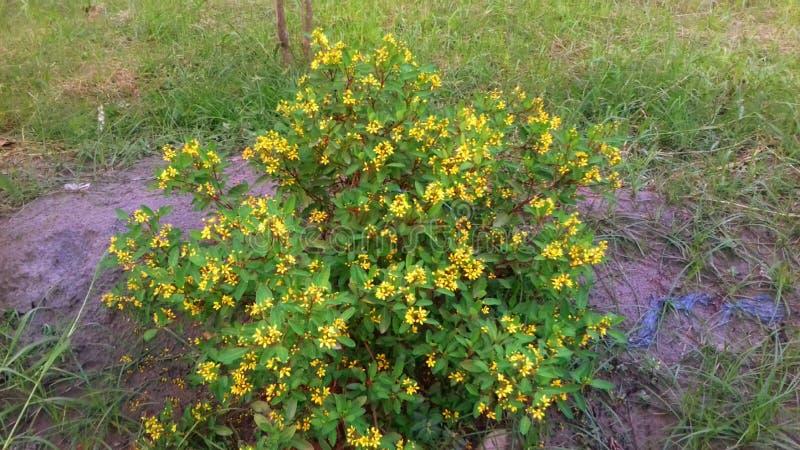 Fleur jaune de jardin photos stock