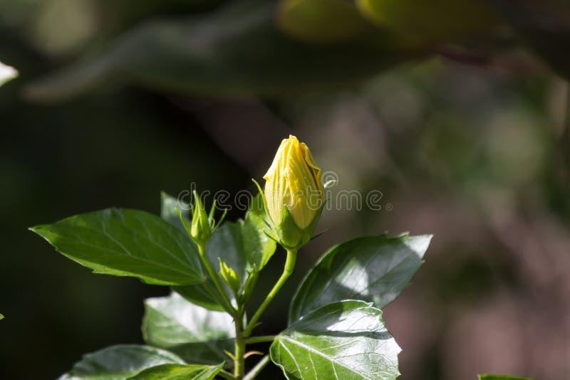 Fleur jaune de ketmie à l'arrière-plan noir de dard photos libres de droits
