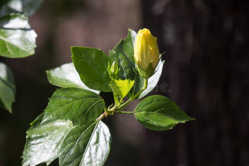 Fleur jaune de ketmie à l'arrière-plan noir de dard photo stock