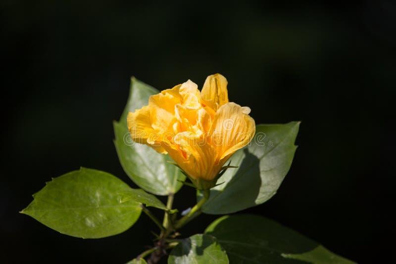 Fleur jaune de ketmie à l'arrière-plan noir de dard photographie stock