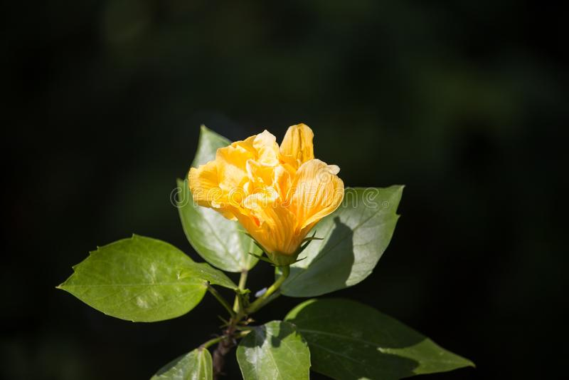 Fleur jaune de ketmie à l'arrière-plan noir de dard photo libre de droits