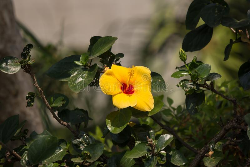 Fleur jaune de ketmie à l'arrière-plan noir de dard photos stock