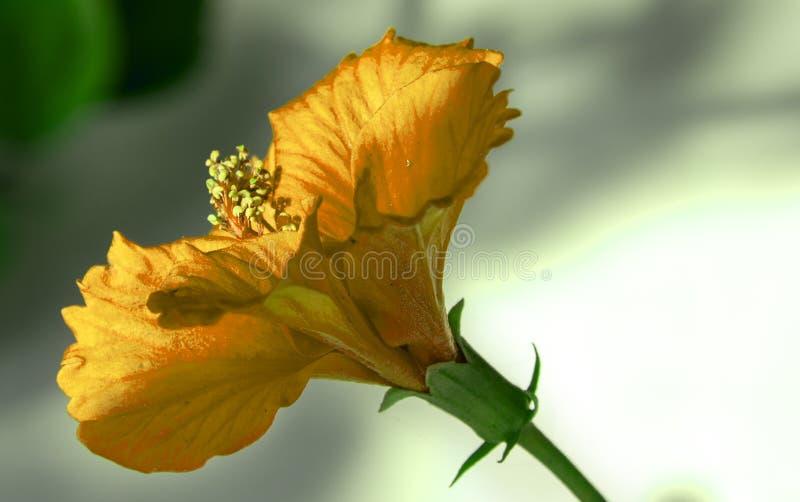 Fleur jaune de ketmie photo libre de droits