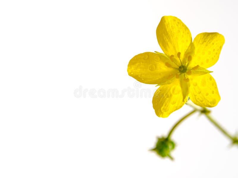 Fleur jaune de la petite mauvaise herbe de caltrops d'isolement sur le backgroun blanc photo libre de droits