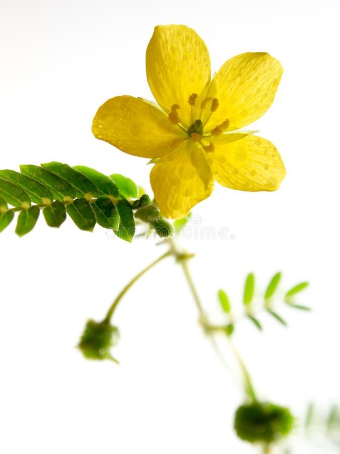 Fleur jaune de la petite mauvaise herbe de caltrops d'isolement sur le backgroun blanc image stock