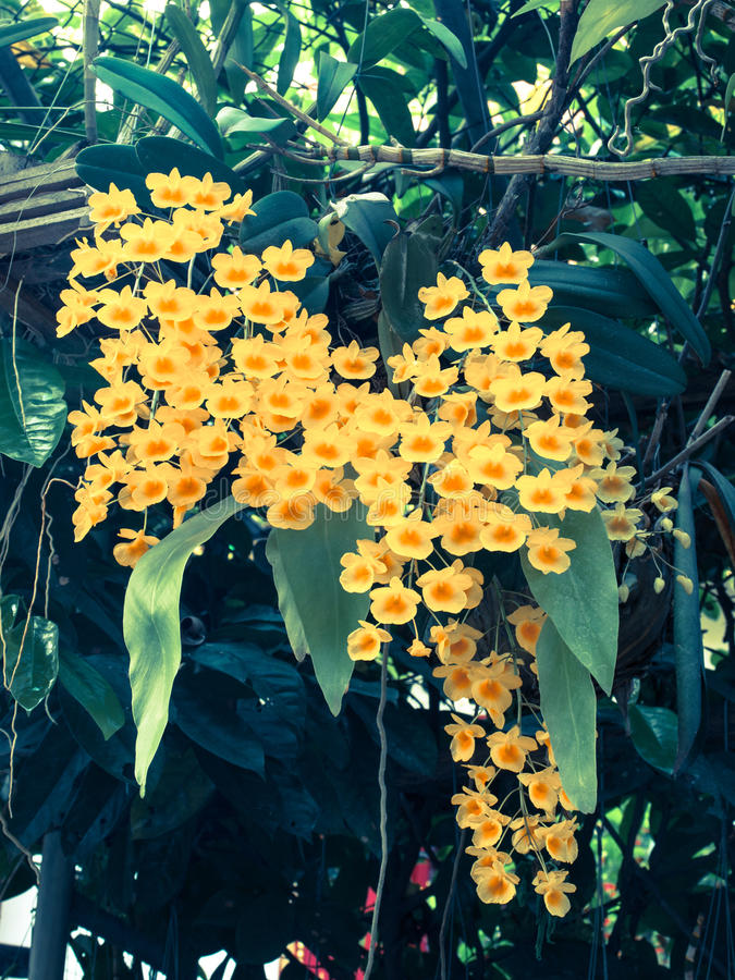 Fleur jaune de lindleyi de Dendrobium d'espèces colorées d'orchidée : Filte photographie stock