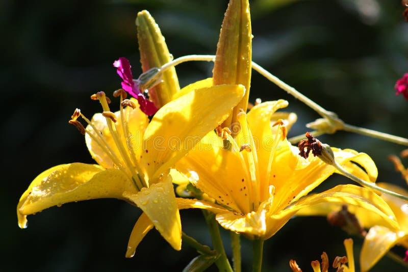 Fleur jaune de lis avec des baisses de l'eau photos libres de droits