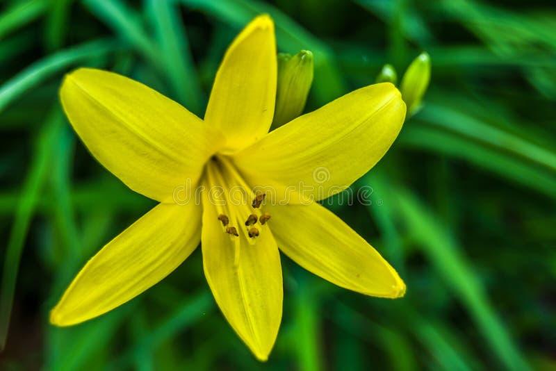 Fleur jaune de lis sur un fond d'herbe verte photo stock
