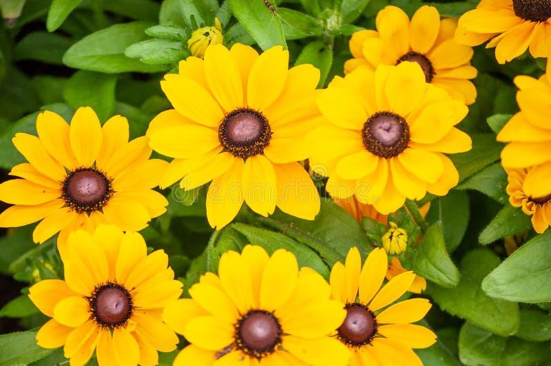 Fleur jaune de marguerite dans la forêt image libre de droits