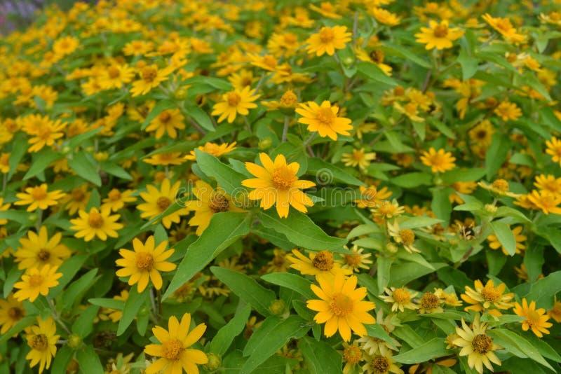 Fleur jaune de marguerites images libres de droits