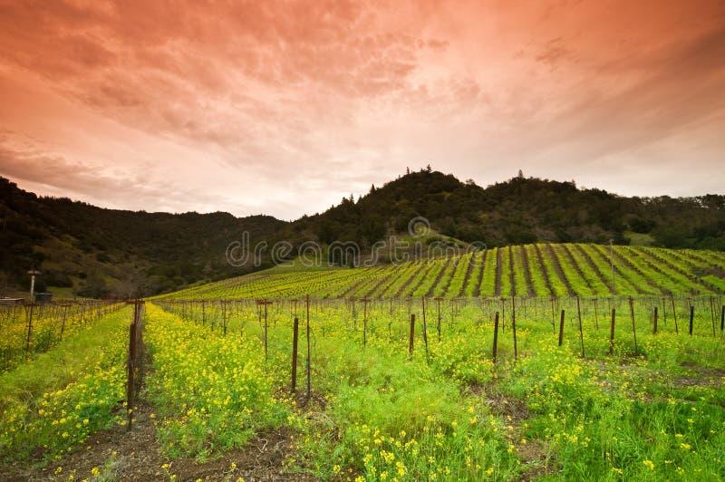 Fleur jaune de moutarde dans Napa, la Californie images libres de droits